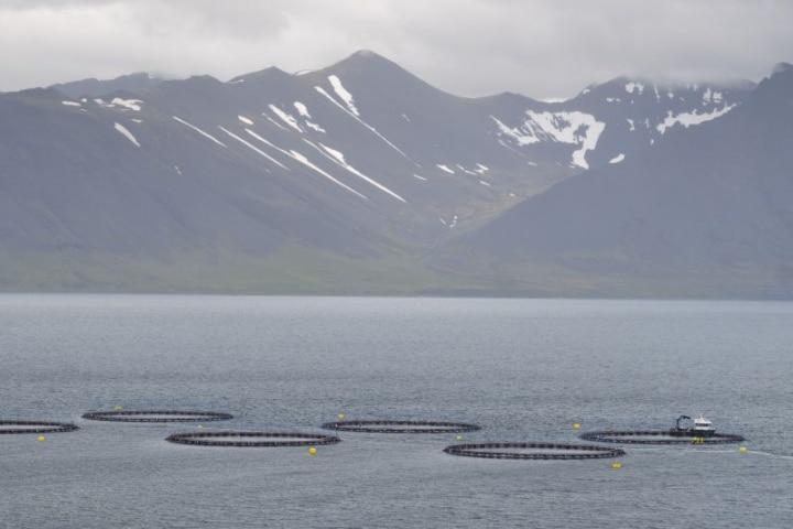 500 Tonnes of Salmon Die in Arnarlax Fish Farms