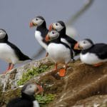 Puffins Numbers High in Westman Islands