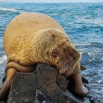 The Disappearance of the Icelandic Walrus