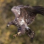 White-Tailed Eagles Multiply in Iceland