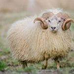 Dreki sheep