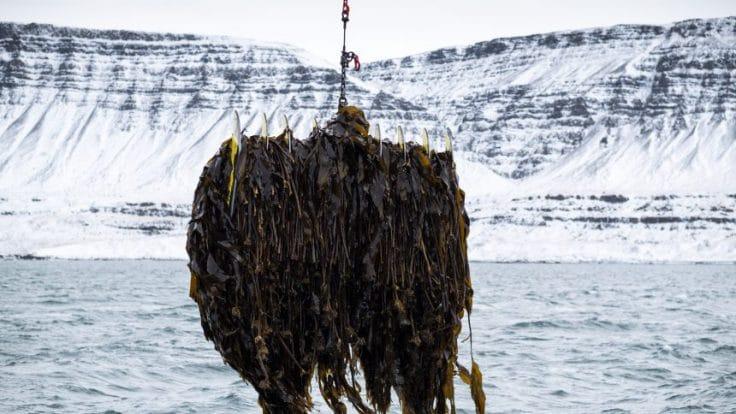 Seaweed harvesting Iceland