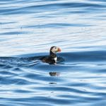 First Puffins of the Year Arrive in Iceland