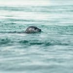 Seals Gain Protected Status in Reykjavík