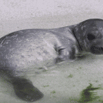 Seal Pup Born at Reykjavík Zoo Raises Ethical Concerns