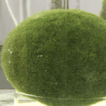 Scientists Propose New Theory Of How Marimo is Formed