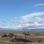 Fifty Whales Found Dead on West Iceland Beach