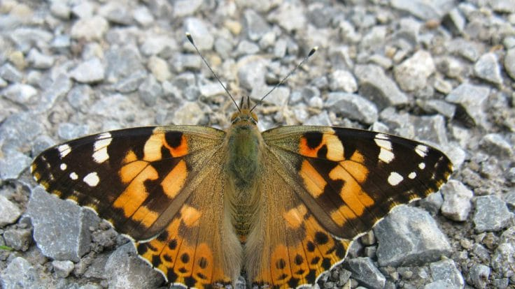 the painted lady vanessa cardui