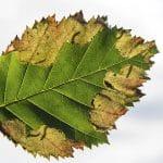 Scolioneura betuleti sawfly larvae in birch leaf.