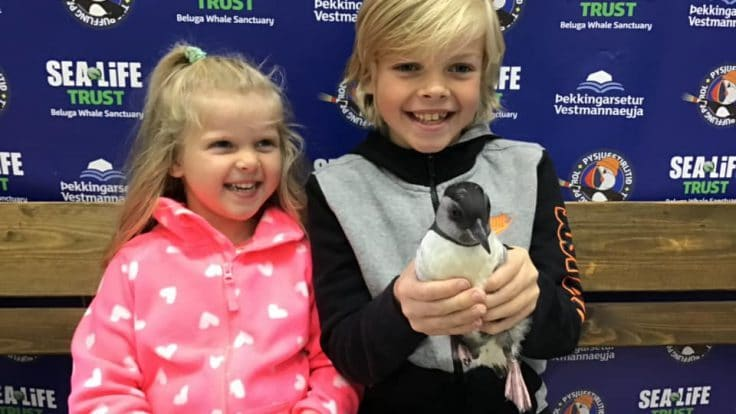 Puffin rescue Westman Islands