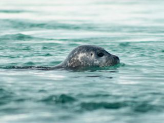Seal Hunting Ban in the Works in Iceland