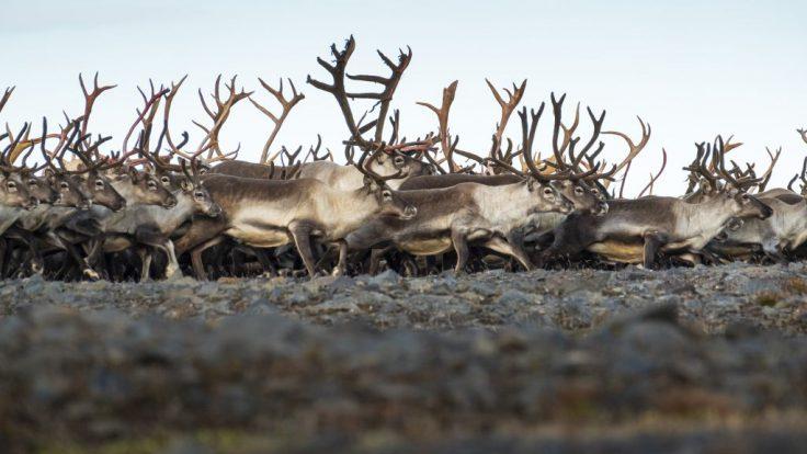 Reindeer hunting Iceland