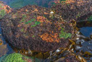 Schizymenia jonssonii red algae Iceland