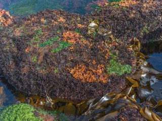 New Species of Red Algae Discovered in Iceland