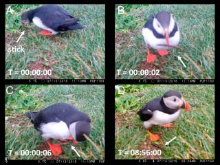 Puffins in Iceland and Wales Spotted Using Tools