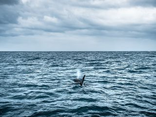 Orca Completes 8,000km Swim from Iceland to Lebanon